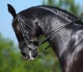 Equestrian Sport - Dressage - PhotoDune Item for Sale
