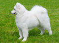 Samoyed Dog - PhotoDune Item for Sale
