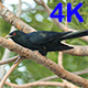 Asian Koel (Eudynamys scolopaceus) 02 - VideoHive Item for Sale