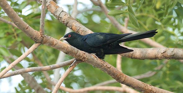 Asian Koel Eudynamys scolopaceus 02