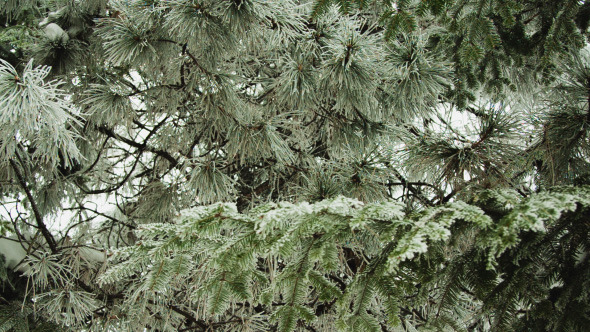 Snowy Branches Of The Pine