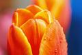 Red tulip - PhotoDune Item for Sale