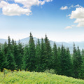 Beautiful pine trees - PhotoDune Item for Sale