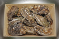 Oysters in Crate - PhotoDune Item for Sale