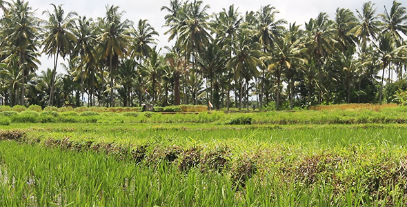 Rice Field and Palm Trees