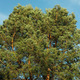 Spreading crown of old pine tree - PhotoDune Item for Sale