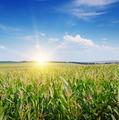sunrise over the corn field - PhotoDune Item for Sale
