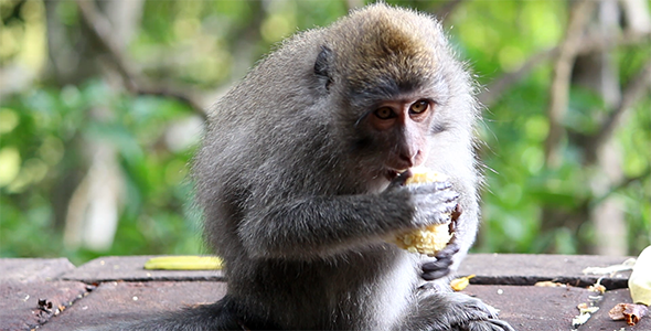 Monkey Eating Corn 2