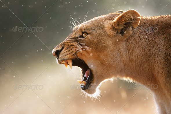 Lioness Teeth - Stock Photo - Images