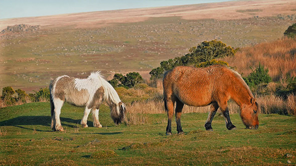 Wild Horses Grazing On Windy Hillside