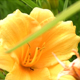 Stock Flowers (HD) 1 - Yellow Lilies - 720p HD - VideoHive Item for Sale