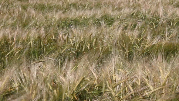 The Field of Wheat