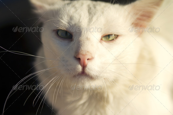 White Cat - Stock Photo - Images