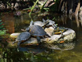 Yellow-bellied Slider Turtles - PhotoDune Item for Sale