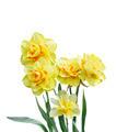 Daffodil Flowers - PhotoDune Item for Sale