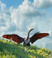 Male American Anhinga (Anhinga anhinga) - PhotoDune Item for Sale