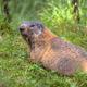 Alpine marmot looking backward - PhotoDune Item for Sale