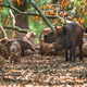Family of Wild Boar by tree - PhotoDune Item for Sale