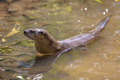 European otter preparing to get out of from water - PhotoDune Item for Sale