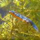 Male Alpine Newt Swimming through Vegetation - PhotoDune Item for Sale