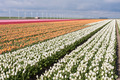 Dutch field of colorful tulips with windmills - PhotoDune Item for Sale