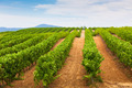 Diminishing rows of Vineyard Field in Southern France - PhotoDune Item for Sale