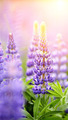 Blue wild-growing flowers of a lupine - PhotoDune Item for Sale