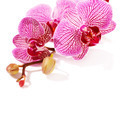 Pink orchid Phalaenopsis. - PhotoDune Item for Sale