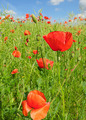 meadow with wild poppies and blue sky - PhotoDune Item for Sale