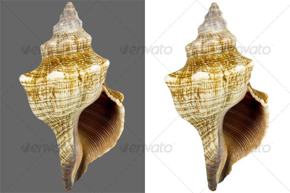 Snail Conch