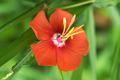 Soft focus scarlet pentapetes - PhotoDune Item for Sale