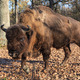 european bison  - PhotoDune Item for Sale