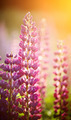 Wild-growing flowers of a lupine - PhotoDune Item for Sale