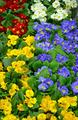 Colorful winter primroses - PhotoDune Item for Sale