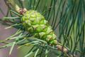 Green pinecone - PhotoDune Item for Sale