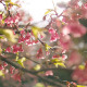 Pink Tree In Park - VideoHive Item for Sale