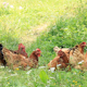 Chicken Family 1 - VideoHive Item for Sale