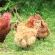 Chicken Family 2 - VideoHive Item for Sale