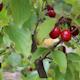 Cornel Tree With Red Cherries - VideoHive Item for Sale