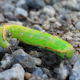 Ants And Dead Green Caterpillar 2 - VideoHive Item for Sale