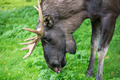 Detail of the head a male moose, Alces alces - PhotoDune Item for Sale