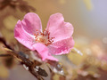 Pink flower of a dogrose. - PhotoDune Item for Sale