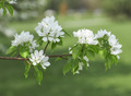 Pear in blossom - PhotoDune Item for Sale