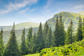 spruce forest on the hillside - PhotoDune Item for Sale