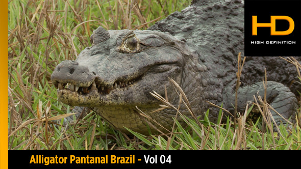 Alligator Pantanal Brazil Vol 04