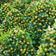 kumquat trees for Tet (Vietnamese New Year) - PhotoDune Item for Sale