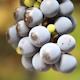 Grape Harvest 6