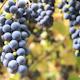 Grape Harvest 8