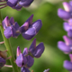 Stock Flowers (HD) 4 - Purple Lupins - 720p HD - VideoHive Item for Sale