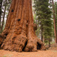 Base Roots Giant Sequoia Tree Forest California - PhotoDune Item for Sale